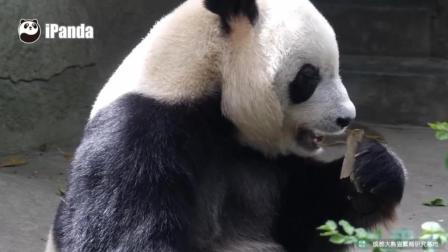 网红大熊猫辣妈啃树皮卖惨, 大阿福果然是实力派演员