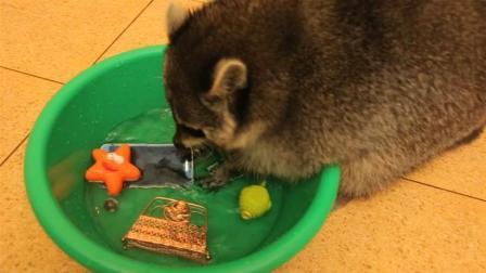 小浣熊把主人的手机放进盆里一顿洗, 小浣熊: 主人, 快夸我勤奋!
