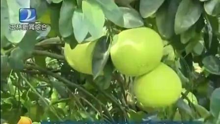 容县万亩蜜柚迎丰产