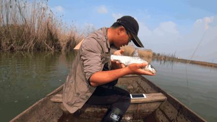 农村木易下河抓鱼, 一条少见的鸡腿子鱼浮出水面, 这家伙还真不多见