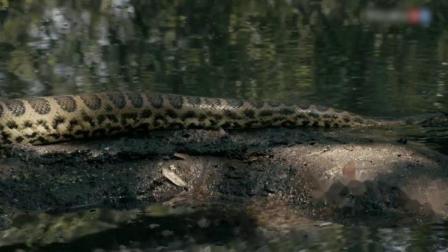 巨蟒或水蟒,如果满足这个条件,它们会变成超级蛇蟒!