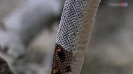 蛇蜕皮的过程,被镜头拍下,看完之后莫名感觉很舒服!
