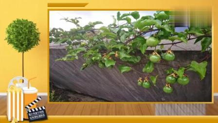 百香果不用买了, 5张图让你轻松学会在家盆栽, 果子多到吃不完