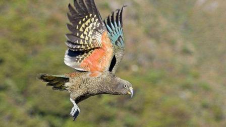 食肉鹦鹉和乌鸦的智商谁更高一些, 科学家用数个
