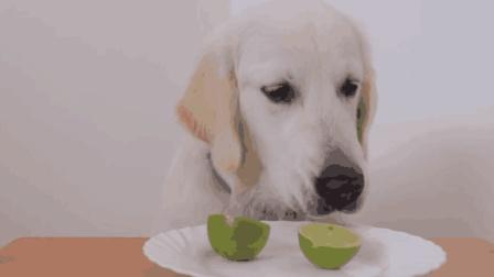 主人给狗狗切了个柠檬吃, 没想到狗狗还上瘾了, 追着柠檬到处跑
