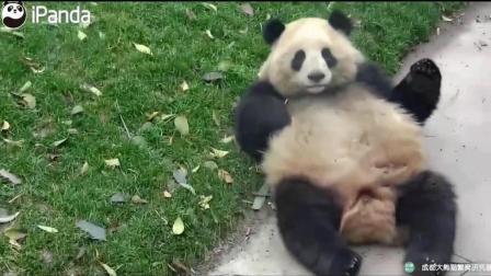 这就是滚滚的由来! 大熊猫走路都嫌太累, 直接从坡上滚下来