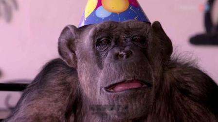男子养了一只大猩猩,什么都教大猩猩,服了!