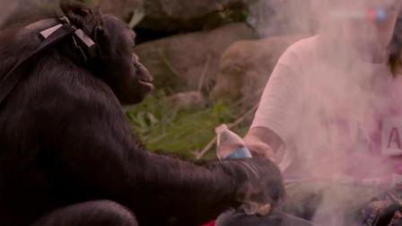 大猩猩用火烧烤火腿肠吃,吃的真香!