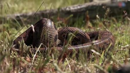 实拍一只蛇将老鼠活活勒,然后整吞,全过程很快!