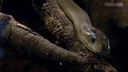 世界卫生组织:每年约有10万人因被蛇咬而!