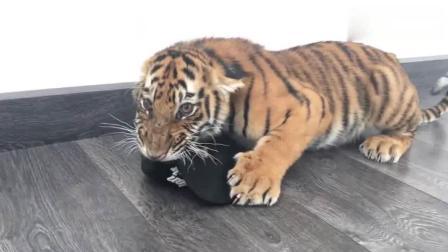 一只小老虎吃东西护食, 你敢上前取走它嘴里食物吗?
