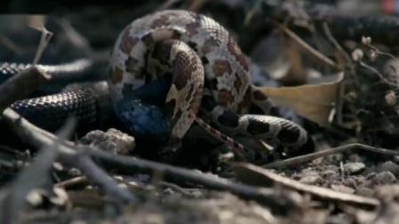 实拍两条蛇对吃,谁速度快,谁就是赢家,直接生吞!