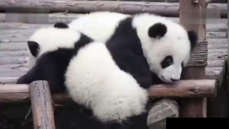 熊猫宝宝搞笑视频合集 蠢萌可爱惹人爱呀