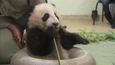 大熊猫宝宝体检时可爱的吃竹子