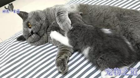 猫爸爸刚躺下, 几只猫宝宝就围了上来, 猫爸爸的反应让人笑翻