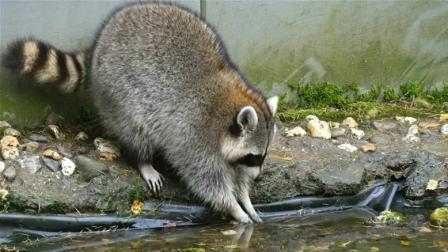 为什么小浣熊热衷于洗东西? 难不成还真有洁癖?