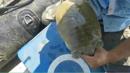 长江3斤多的野生大甲鱼 齿尖爪锋利 瞬间两个血洞