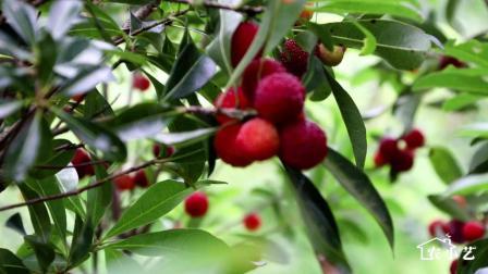 杨梅太红了, 馋嘴的姑娘爬到树上坐着吃, 这才是最爽的吃法