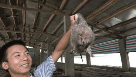 竹鼠中暑有什么症状? 如何预防和救治? 看了这个视频你就知道了