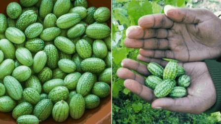 世界上最小的西瓜: 只有拇指般大小, 一口能吞10个!