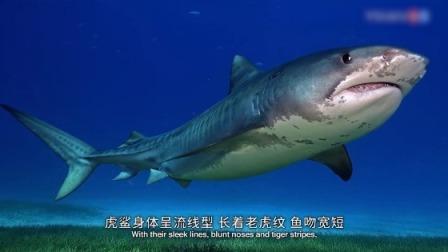 虎鲨是海洋里最凶猛的鲨鱼之一,看看摄影师是怎么拍摄的!