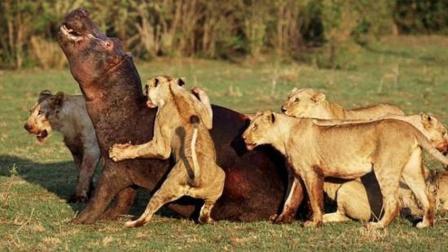 狮子咬住河马, 河马却没感觉, 河马: 咬人都没力气, 还当什么肉食动物