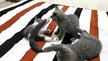 两只小猫打闹, 另只小猫围观, 有只猫宝被咬疼了, 立刻用上了绝招