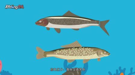 秒懂少儿之动物小科普 教你一眼区分青鱼和草鱼