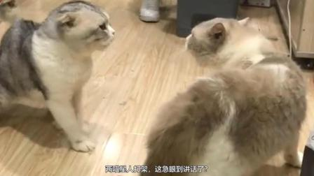 两猫星人打架, 急眼都说话了? 有个翻译的没?