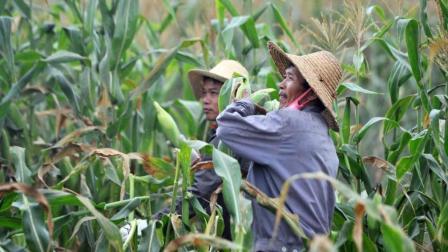 玉米倒伏不用扶, 割头能增产? 这种说法到底对不对?