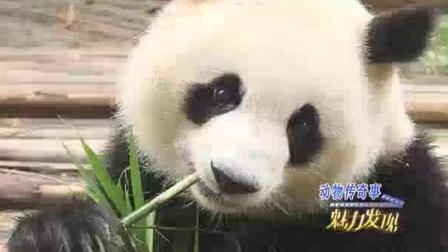 野生熊猫几次下山偷猪骨头吃 吃完后霸占猪圈 呼呼大睡
