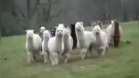 【搞笑动物集锦】一群草泥马向你走来 你是什么