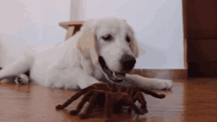 狗狗被一只蜘蛛玩具给迷的不得了, 主人: 总算找到消耗你精力的方法了