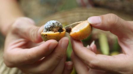 这野果叫草豆蔻, 中药植物, 主要对脾胃寒湿等作用, 烹饪调味等