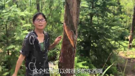 见过松树, 没见过松油, 农村婆婆给大家介绍, 如何利用松油致富