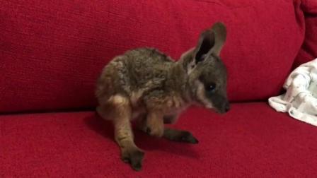 原来刚出生的小袋鼠长之样, 全身毛茸茸的, 比兔子还可爱!