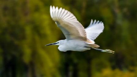 湿地水鸟 白鹭 成双成群 大白鹭视频 紫逸鸣飞