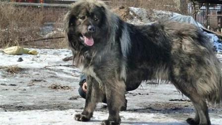 人类忠实的朋友, 高加索犬为了保护羊群, 竟了的狼