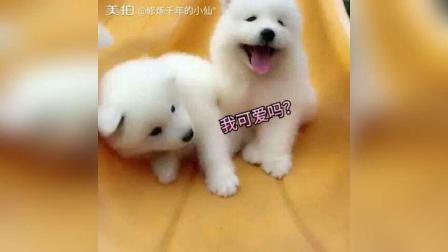 微笑天使, 熊版萨摩耶, 非常可爱,