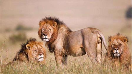 《自然传奇》狮子兄弟干败狮王, 狮王背井离乡, 落荒而逃