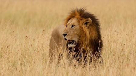 《自然传奇》狮子等候角马多时, 即使角马很敏锐, 还是难逃一