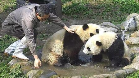 熊猫蔓越煤: 奶爸你走开, 熊家要自己洗澡