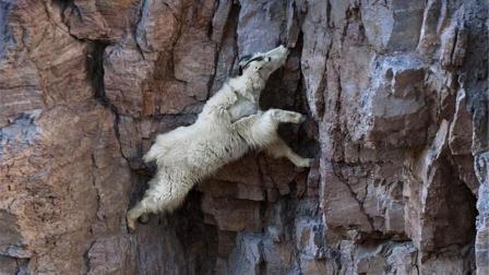 世界上最神奇的山羊: 一生几乎都生活在峭壁上, 它不会掉下来吗?