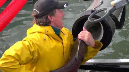为了让鱼类洄游, 美国耗资1亿建通道, 鱼儿好像坐过山车!