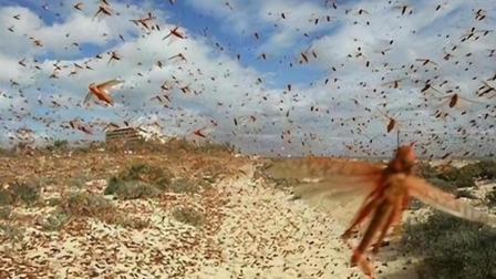 如果中国爆发蝗虫灾害, 会是什么样的场面?