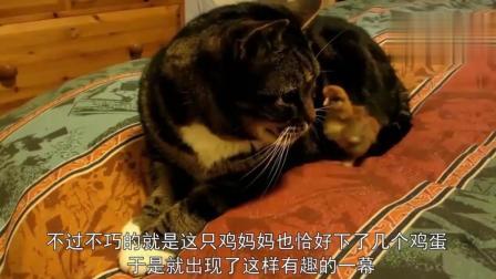 猫妈妈在鸡窝分娩, 带娃时直接赶走鸡妈妈, 顺便帮鸡妈孵蛋!