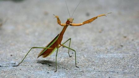 狼蛛凶猛无比, 遇上螳螂能否一战? 螳螂: 味道不错再来一只