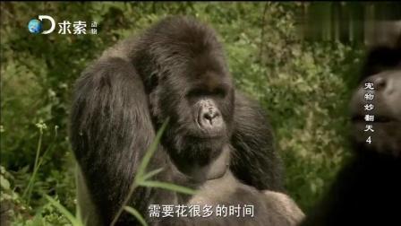 养了15年的宠物大猩猩