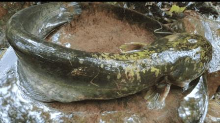 鲶鱼这样吃才叫爽, 一人吃一大条, 太过瘾了