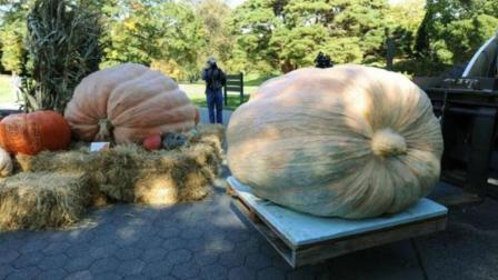 美国女子种出782公斤南瓜, 吉尼斯都不敢相信! 能吃吗?